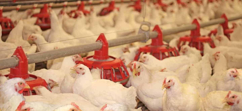 En Bachoco nuestras aves reciben un trato humano y cuidadoso, rigiéndonos bajo la aplicación efectiva y constante de Buenas Prácticas de Producción Pecuaria de Senasica, para promover el mejor desarrollo posible.