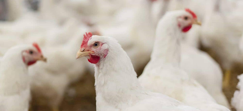 En Bachoco nos preocupamos por cada etapa del proceso de nuestras proteínas, por lo cual realizamos el sacrificio de los pollos de acuerdo con la normatividad nacional vigente y siguiendo las mejores prácticas internacionales, ya que buscamos generar el menor estrés posible en las aves.